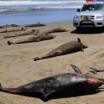 Mas Muertes Masivas de Animales, Ahora en Perú