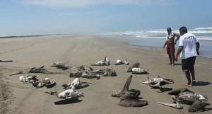 Pelícanos muertos en perú