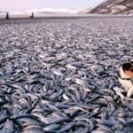 200 toneladas de peces muertos, ahora en Japón