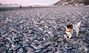 Apocalipsis e1339246733587 300x180 - 200 toneladas de peces muertos, ahora en Japón