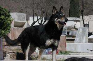 El perro capitan vigila la tumba de miguel e1348427911698 300x199 - La capacidad de ciertos animales para percibir la muerte
