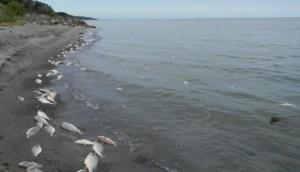 Peces muertos y gaviotas muertas en la orilla del lago Erie