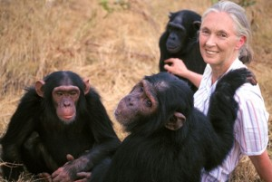 Jane Goodall con los chimpances e1349294165233 300x201 - Jane Goodall afirma que el Bigfoot existe