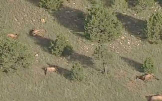 Alces muertos 2 - Aparecen en Nuevo México 120 alces muertos cerca de un círculo en los cultivos