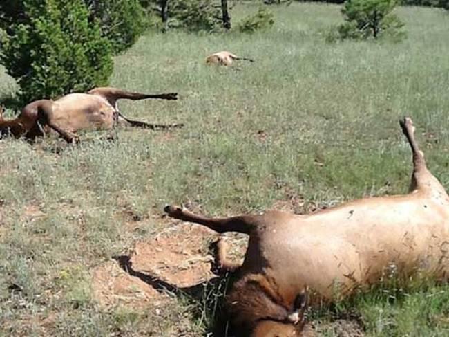 Alces muertos Aparecen en Nuevo México 120 alces muertos cerca de un círculo en los cultivos