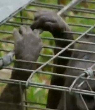 criatura chupacabras - Familia de Texas dice haber capturado a la mítica criatura Chupacabras