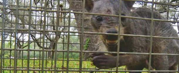 Familia de Texas dice haber capturado a la mítica criatura Chupacabras