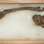 Se exhiben en Japón los restos momificados de un demonio de agua