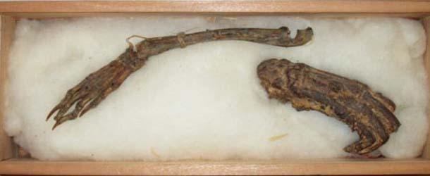 restos momificados demonio agua - Se exhiben en Japón los restos momificados de un demonio de agua
