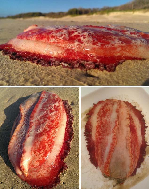 extrana criatura marina australia Extraña criatura marina aparece en una playa de Australia
