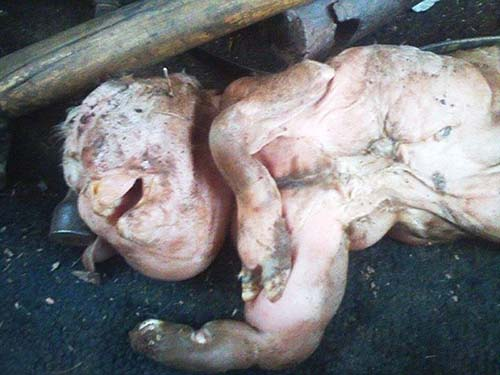 cabra rostro bebe humano argentina - Nace una cabra con rostro de bebé humano en una granja de Argentina