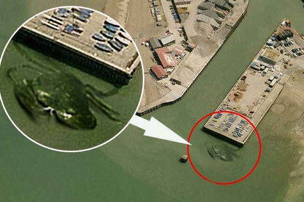 monstruoso cangrejo puerto britanico Fotografían un monstruoso cangrejo en un puerto británico