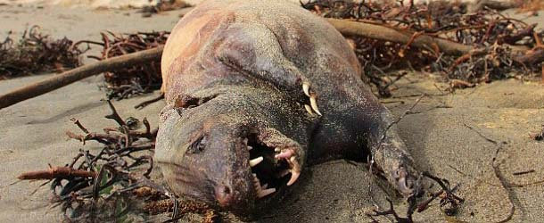 monstruosa criatura california - Aparece muerta una monstruosa criatura en una playa de California
