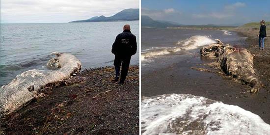 misteriosa criatura marina muerta rusia - Científicos desconcertados por el hallazgo de una misteriosa criatura marina muerta en una playa de Rusia