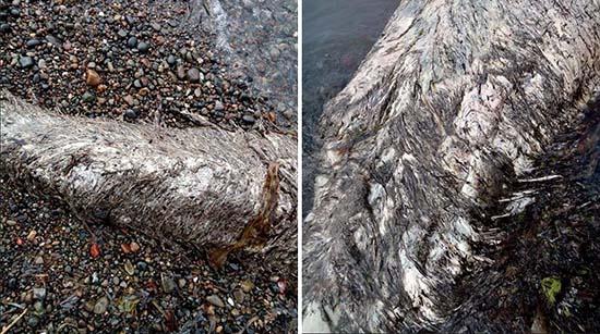 Misteriosa criatura marina playa Rusia