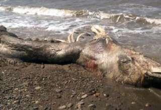 misteriosa criatura marina rusia 320x220 - Científicos desconcertados por el hallazgo de una misteriosa criatura marina muerta en una playa de Rusia