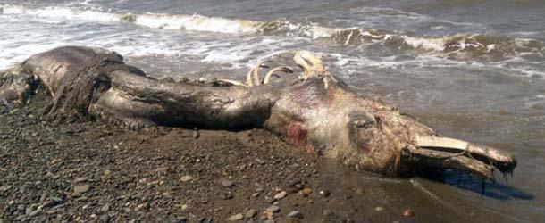 misteriosa criatura marina rusia - Científicos desconcertados por el hallazgo de una misteriosa criatura marina muerta en una playa de Rusia