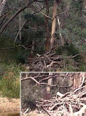 Fantasma bosque de los suicidios de Australia