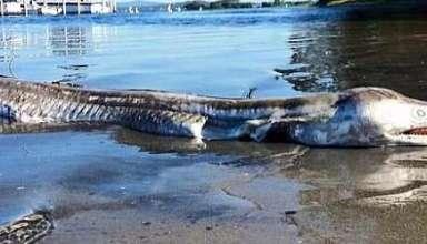 "monstruo marino australia 384x220 - Hallan un extraño ""monstruo marino"" en una playa de Australia"