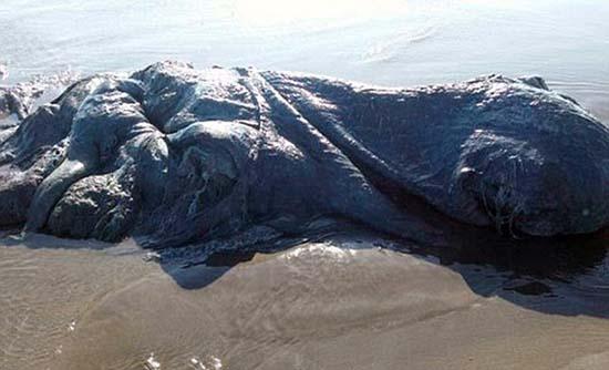 criatura marina mexico - Otra misteriosa criatura marina aparece muerta, ahora en una playa de México