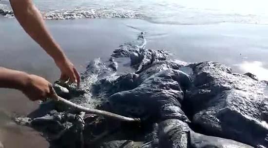 Misteriosa criatura marina playa México
