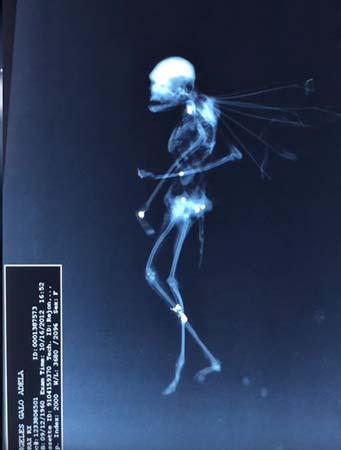 prueba rayos x hadas - Una prueba de rayos X a una extraña criatura demuestra que las hadas existen