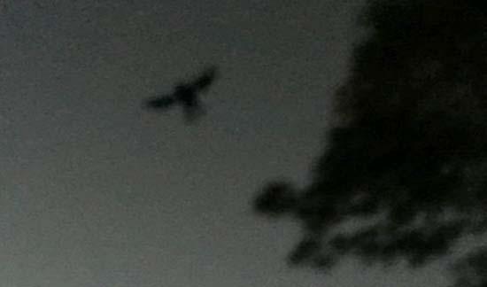 mothman regresando a point pleasant - Fotografían a Mothman regresando a Point Pleasant
