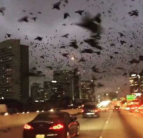 aves houston - Miles de aves negras con un extraño comportamiento sobrevuelan el cielo de Houston, ¿una señal apocalíptica?