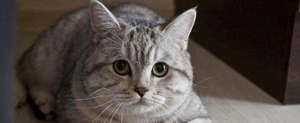 Clarividente rusa compra un gato psíquico por 78.000€