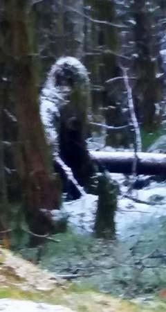 misteriosa criatura bigfoot bosque irlandes - Una mujer fotografía una misteriosa criatura similar a un Bigfoot en un bosque irlandés