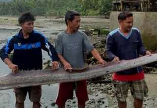 peces remos terremoto filipinas 320x220 - La misteriosa aparición de peces remos anuncian un gran terremoto en Filipinas