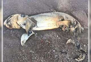 misteriosa criatura playa australia 320x220 - Expertos no pueden identificar una misteriosa criatura muerta varada en una playa de Australia