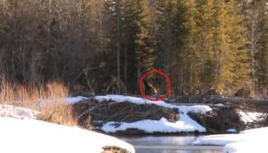 enorme bigfoot bosque canadiense 384x220 - Impactante vídeo muestra un enorme Bigfoot caminando por un bosque canadiense