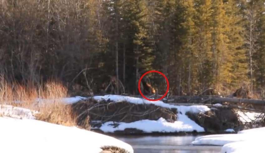 enorme bigfoot bosque canadiense 850x491 - Impactante vídeo muestra un enorme Bigfoot caminando por un bosque canadiense