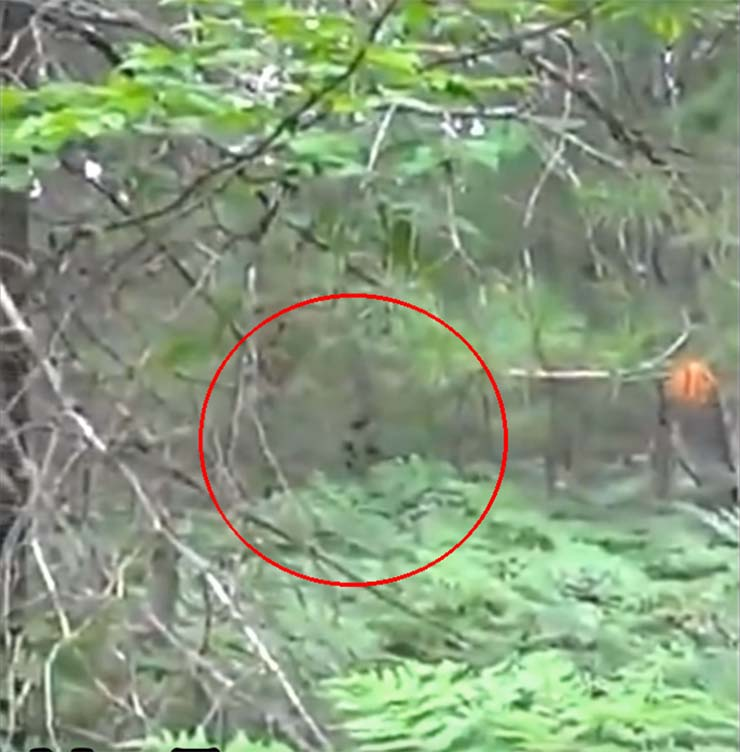bigfoot bosque michigan - Increíble vídeo muestra un Bigfoot con sus crías en un bosque de Míchigan