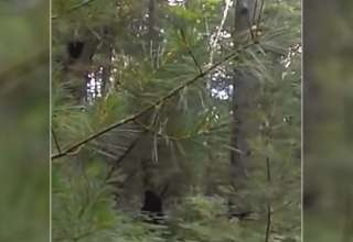 bigfoot michigan 320x220 - Increíble vídeo muestra un Bigfoot con sus crías en un bosque de Míchigan