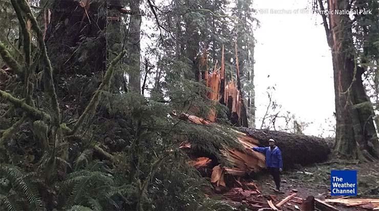 misteriosa fuerza invisible estado washington - Una misteriosa fuerza invisible derriba cientos de árboles gigantescos en el estado de Washington