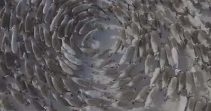 renos patrones circulares en rusia - Vídeomuestra manadas de renos moviéndose en extraños patrones circulares en Rusia y los científicos no sabe por qué