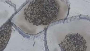 renos patrones circulares rusia 384x220 - Vídeomuestra manadas de renos moviéndose en extraños patrones circulares en Rusia y los científicos no sabe por qué