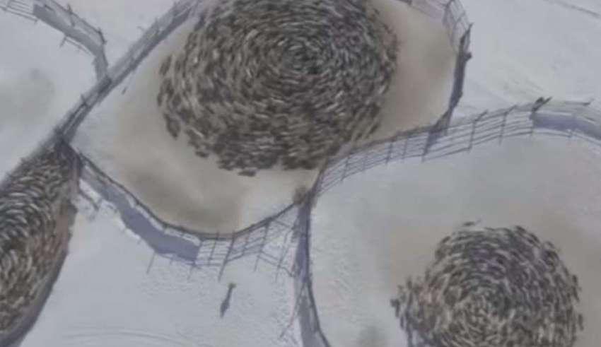 renos patrones circulares rusia 850x491 - Vídeomuestra manadas de renos moviéndose en extraños patrones circulares en Rusia y los científicos no sabe por qué