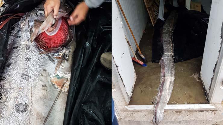 """criatura inminentes terremotos - Alerta en Chile por la aparición de una criatura marina que """"anuncia"""" inminentes terremotos"""