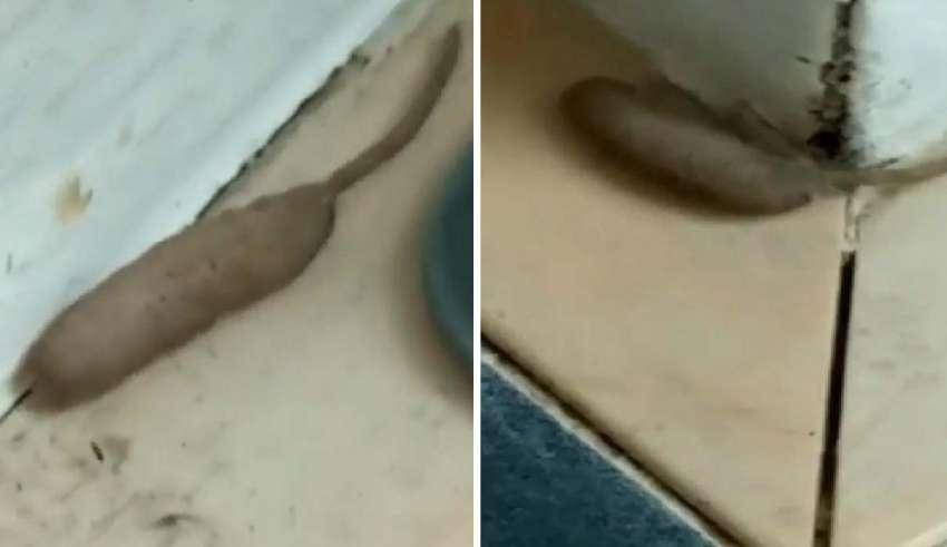 mitad gusano mitad rata 850x491 - Mujer británica horrorizada al descubrir una extraña criatura mitad gusano mitad rata en el porche de su casa