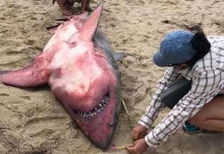 tiburon rojo 320x220 - Los científicos no pueden explicar la aparición de un gran tiburón blanco muerto de color rojo en una playa de Massachusetts