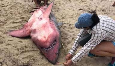 tiburon rojo 384x220 - Los científicos no pueden explicar la aparición de un gran tiburón blanco muerto de color rojo en una playa de Massachusetts