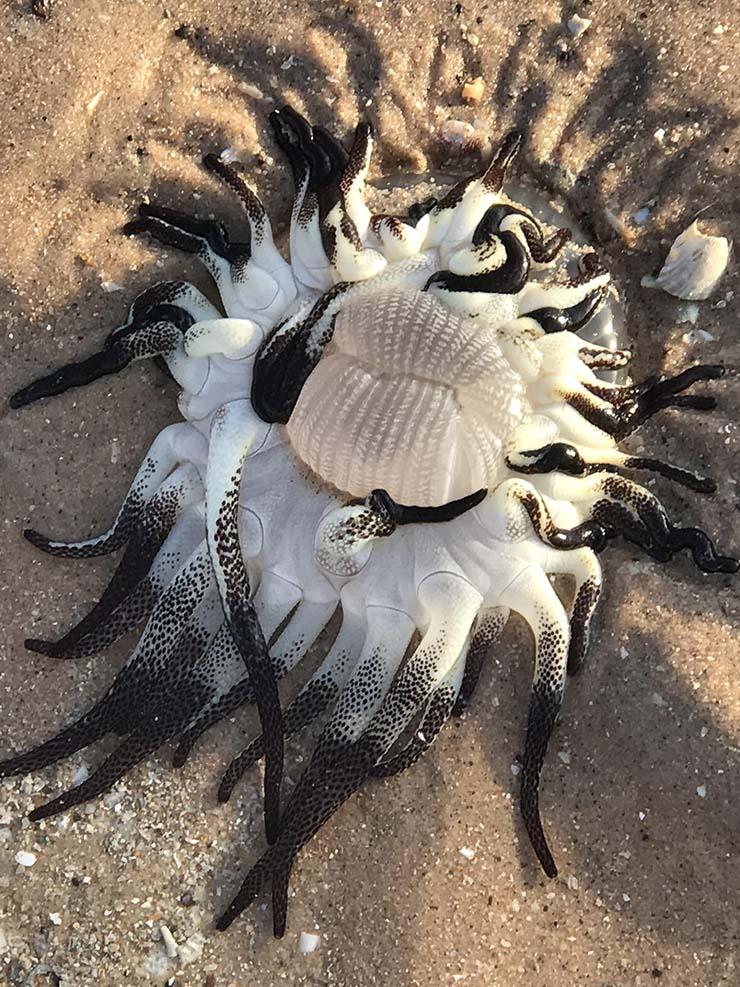 criatura extraterrestre playa australia - Encuentran una criatura extraterrestre con tentáculos en una playa de Australia