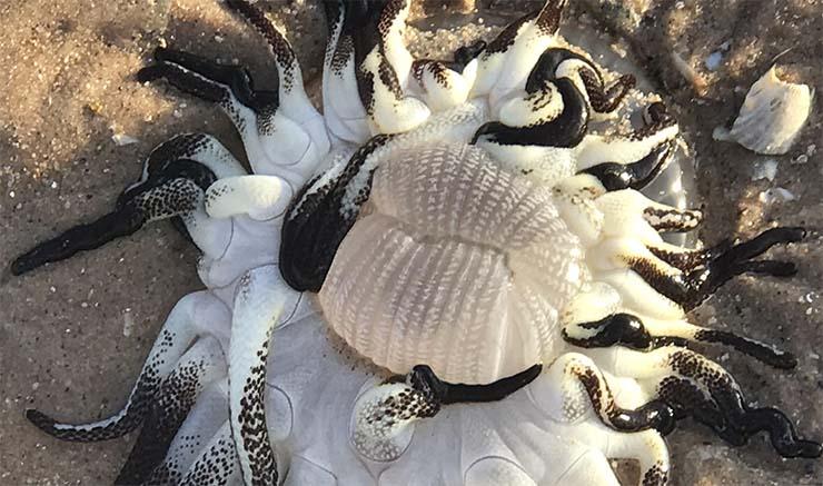 criatura extraterrestre playa de australia - Encuentran una criatura extraterrestre con tentáculos en una playa de Australia