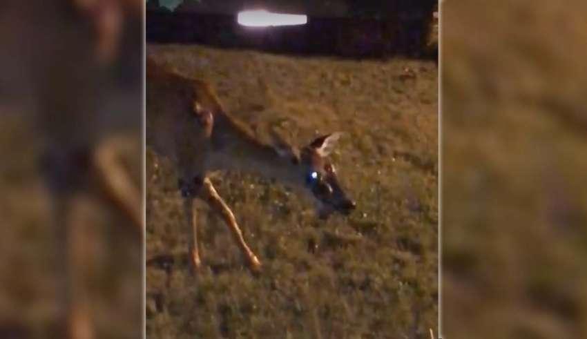 ciervo zombi contagio 850x491 - Graban un ciervo zombi en el jardín de una casa en Estados Unidos, ¿ha comenzado el contagio a humanos?