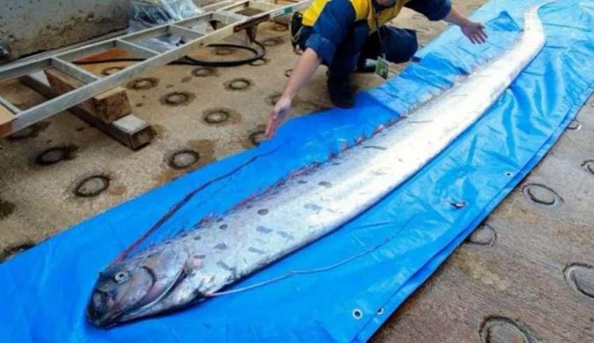 peces remo japon 850x491 - Advierten que la aparición de varios peces remo muertos en las costas de Japón anuncian un inminente tsunami