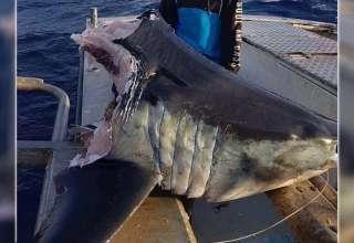 tiburon cabeza australia 320x220 - Hallan un enorme tiburón con la cabeza mordida por una bestia aún más grande en la costa de Australia
