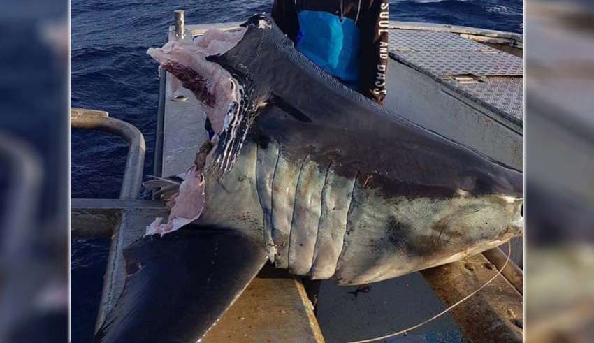 tiburon cabeza australia 850x491 - Hallan un enorme tiburón con la cabeza mordida por una bestia aún más grande en la costa de Australia
